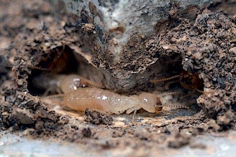 termite-faq2